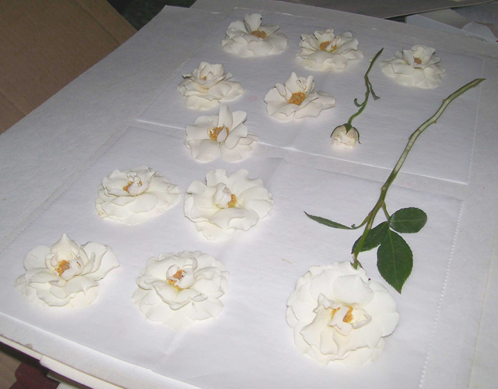 White Roses Prepared to be Pressed